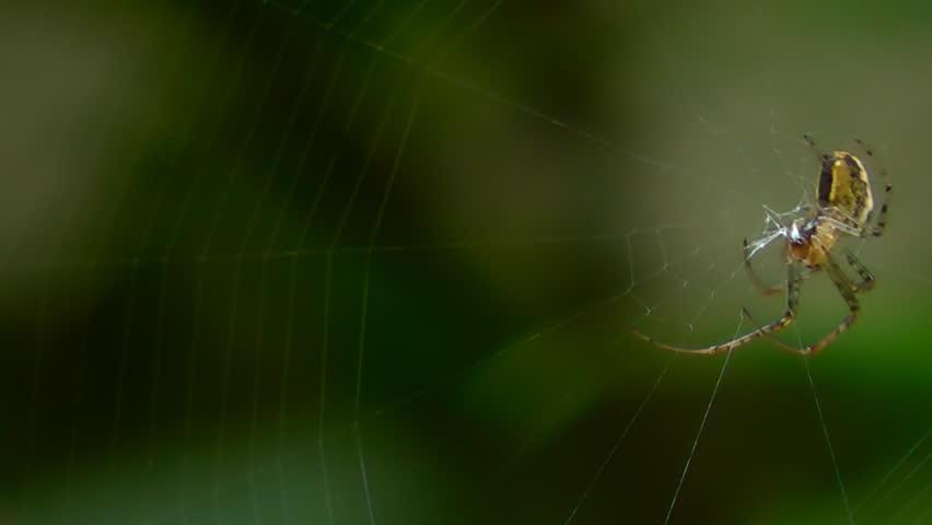 Spider building spiderweb on dark background