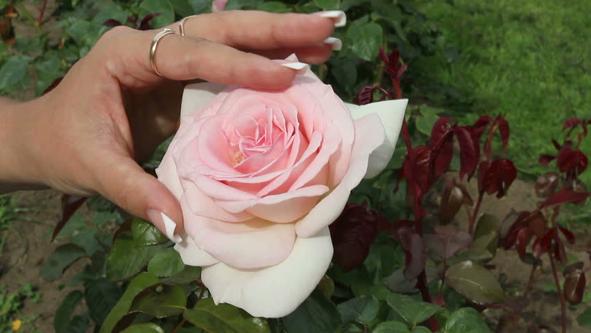 Hand of a young girl stroking a rose. The pink rose. Fondness for the flower. The girl and the rose. Flower garden. | Shutterstock HD Video #13457957
