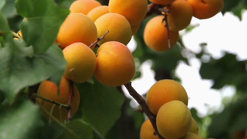 Header of apricot