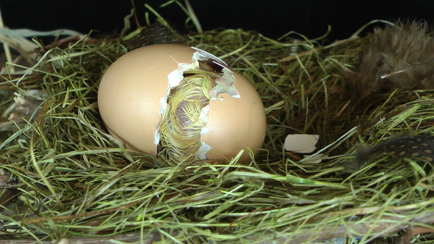 Just seconds before the hatching of a little wet chick