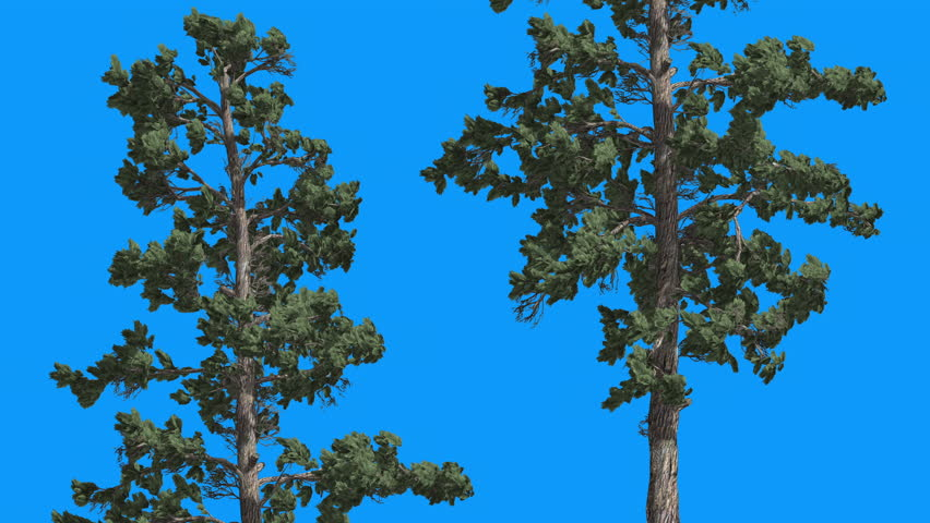 Eastern White Pine , Pinus strobus, Thin Two Trees With Green Leaves on Blue Screen, Tree on Chroma Key, Alfa, Tree is Swaying on the Wind, Evergreen Tree, Green Needle-Like Leaves at Daytime in #13586900