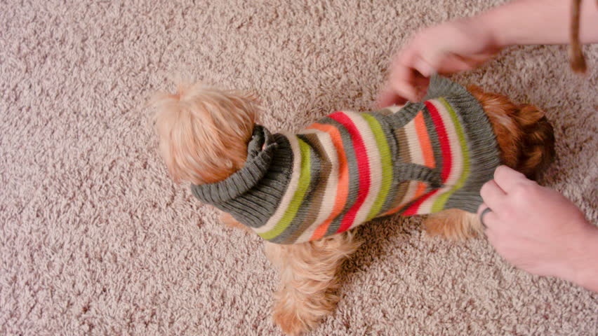This is a shot of me putting a sweater on my puppy. She is a Wheaten Soft Wire Haired Dachshund. This video was shot on a BMCC using a 35-70mm zeiss.