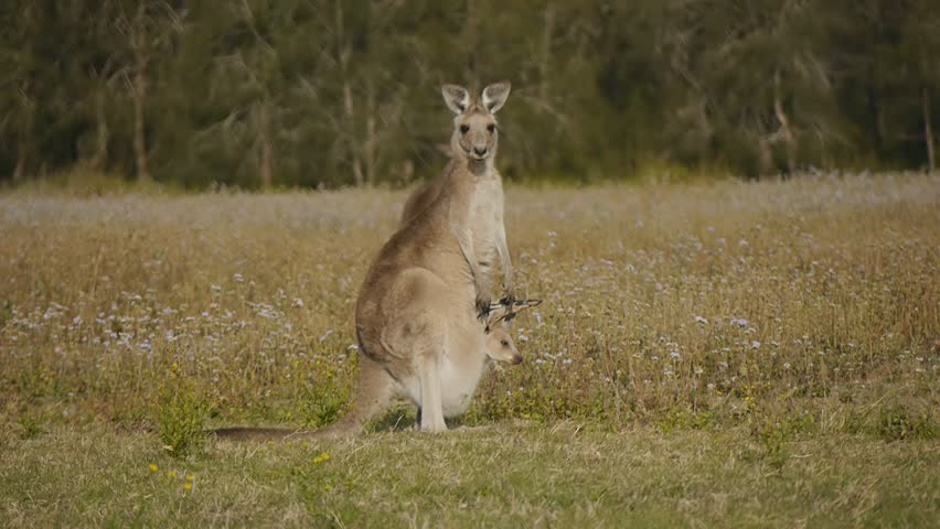 Kangaroo joey sticking head out of pouch