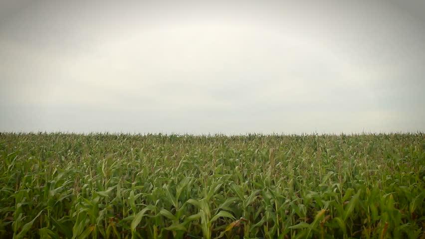 Corn crops moving in the wind. | Shutterstock HD Video #1372867