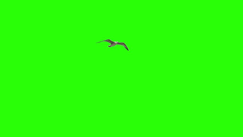 Lonely Bird On Chroma Key | Shutterstock HD Video #13766807