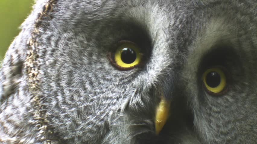great grey owl - HD stock footage clip