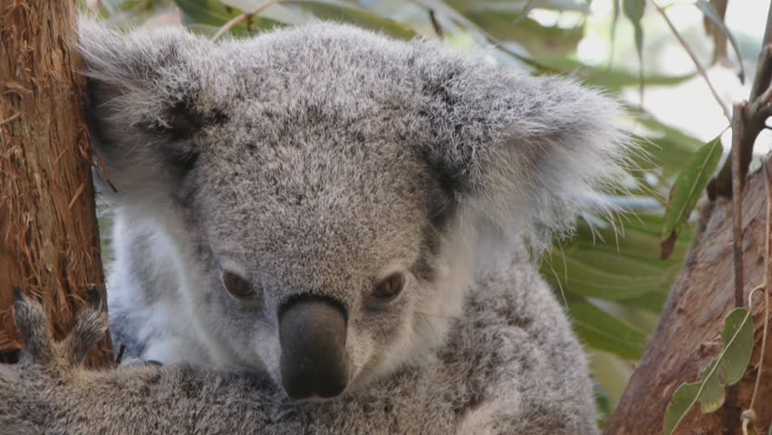 Koala bear closeup