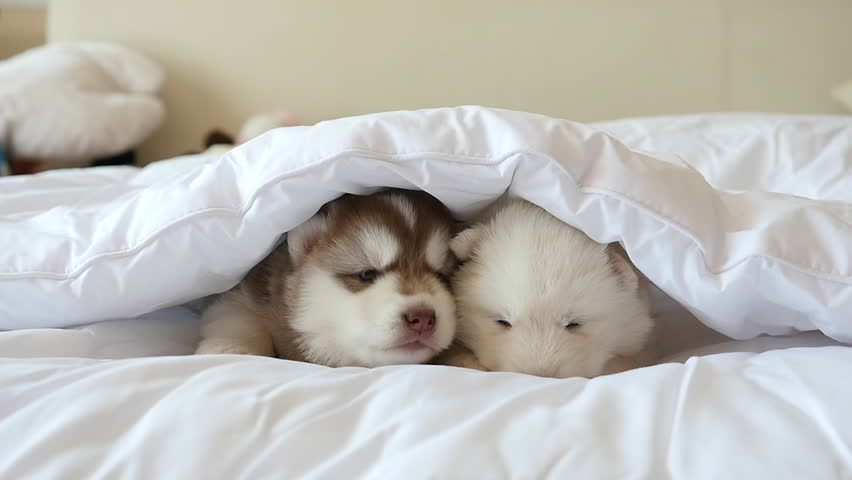 Two siberian husky puppies sleeping on white bed under white blanket