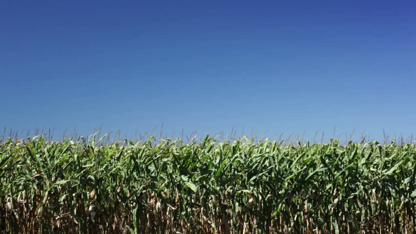 Vibrant corn field blowing in the wind on a sunny day. | Shutterstock HD Video #1392223