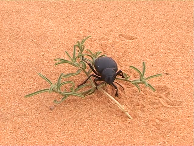 Black beetle on desert flower