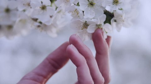 close up of hand on white cherry blossom