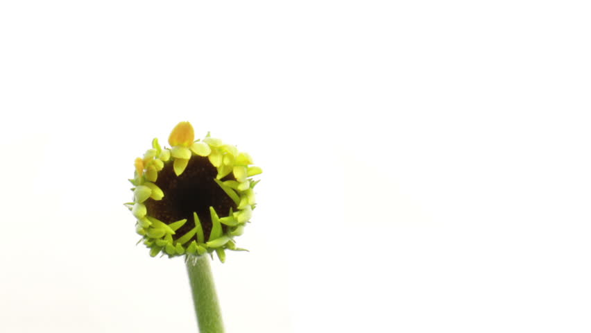 time lapse of growing yellow orange gerbera close shot