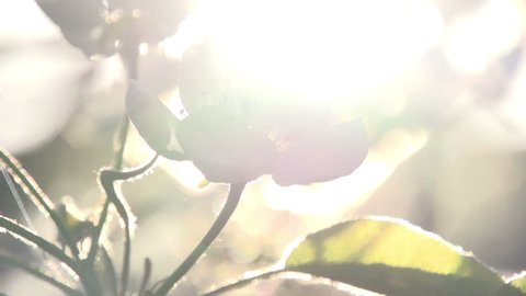 Bright Rays of Spring. Flowers blossoming pear closeup backlit volume sunlight and romantic haze. Slow Motion at a rate of 240 fps