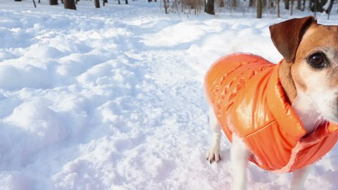 Play with me! Active happy small dog Jack Russell terrier with orange clothes have fun in winter forest during a sunny snow walks. DLSR camera video footage