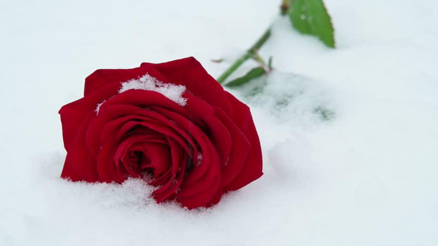 такая няшка!! розы в снегу шнайдер-трнавский байпас для преобразователей
