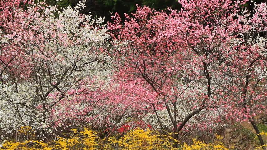 Plantation Japanese flowering peach. | Shutterstock HD Video #14364637