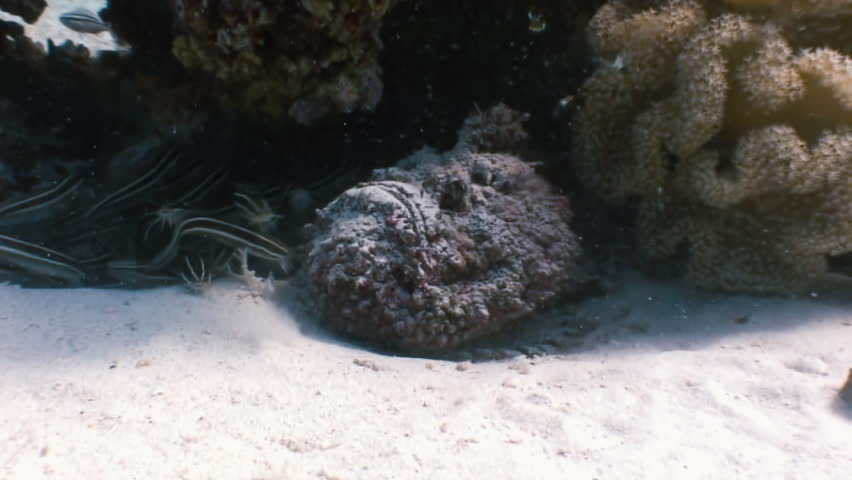 Scorpionfish stonefish scorpaenopsis diaboblus floats over a coral reef in the Red Sea. Underwater sea ocean marine life and its inhabitants, creatures diving, travels in blue tropical coral reef.