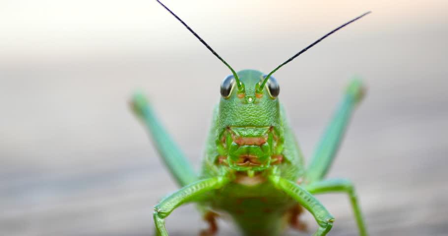 Green Grasshopper Jumps. Macro, Colorful
