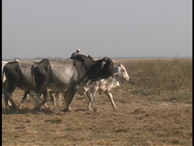 Riders on horseback accompany a herd of cows as they stampede across the prairie in a third world country.