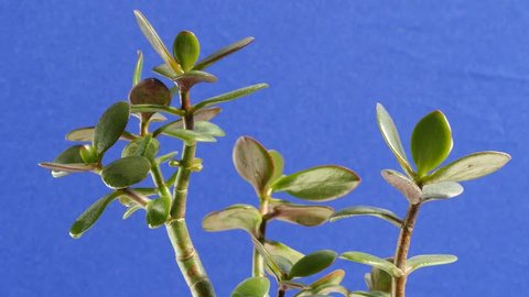 small oval leaves are succulent plant money tree swaying in the thick branches thickly overgrown with foliage houseplant located on a blue background
