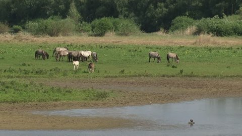 Konik horse, herd with foals on riverbank in Blauwe Kamer nature reserve along the Lower Rhine, The Netherlands.