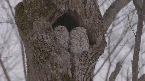 Cuple of sleeping Owls in Hokkaido, Japan.
