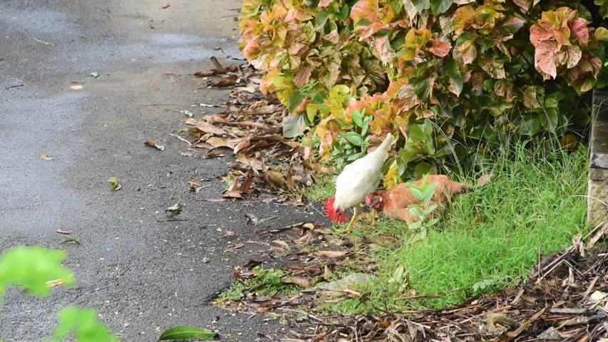 Free Range Chicken Eating Grass Stock Footage Video 100