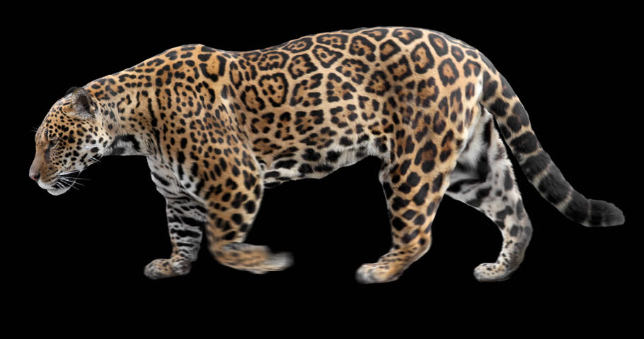 Jaguar walking. Isolated and cyclic animation. Alpha channel.