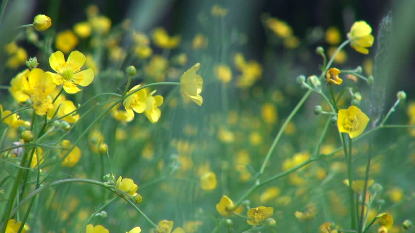 Small yellow flowers on a stock footage video 100 royalty free small yellow flowers on a wild meadow swaying in the wind close up mightylinksfo