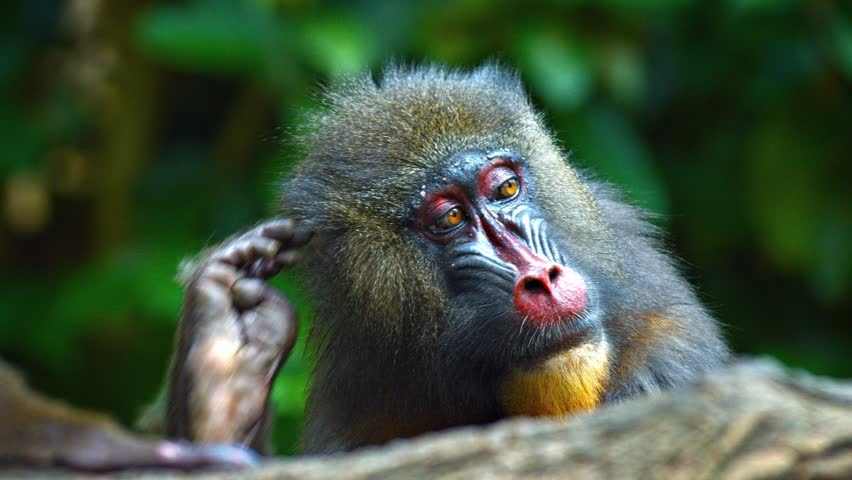 Closeup of a male mandrill monkey. with its blue and red facial features. relaxing in his habitat enclosure. FullHD video