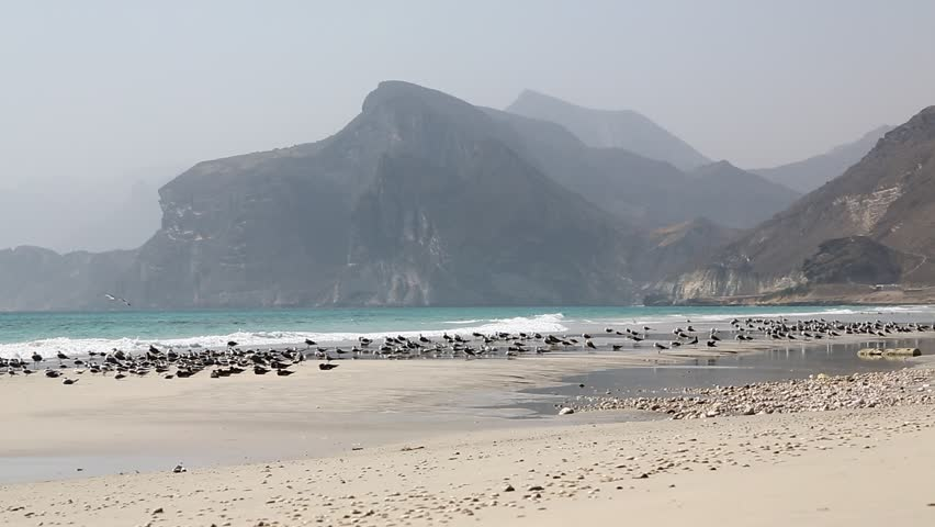 Seagull in the arabic sea and ocean fly near beach hill and mountain   | Shutterstock HD Video #14651887
