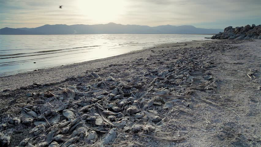 Long beach ca august 5 a man fishes in the pacific ocean from dead fish on beach view of some dead fish washed up on the beach publicscrutiny Image collections