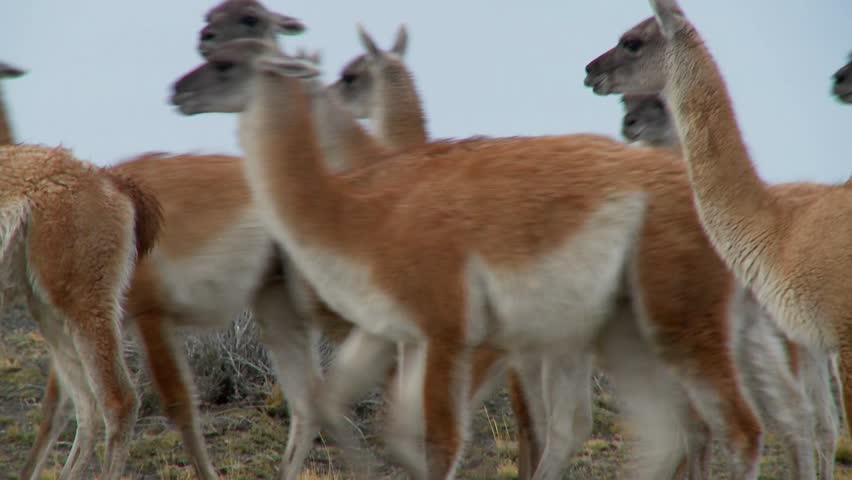 Guanacos walk together in formation  in the Andes mountains, Patagonia, Torres Del Paine.