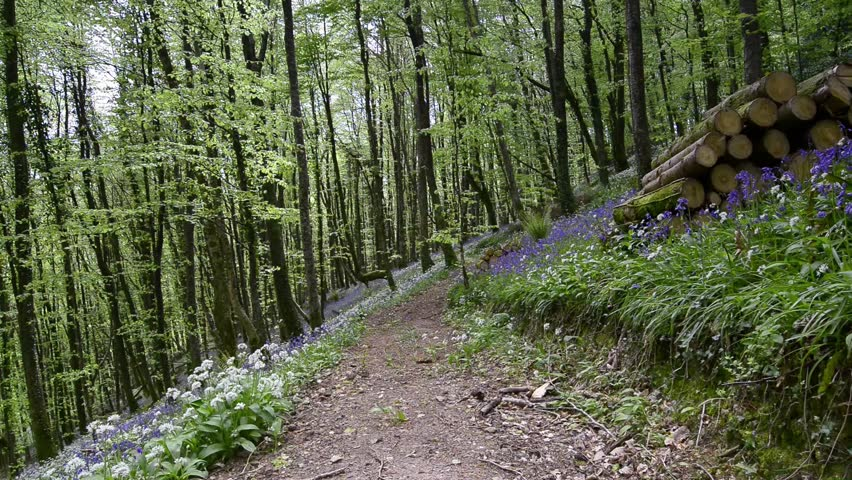 A path leading through bluebell woods near Looe in Cornwall