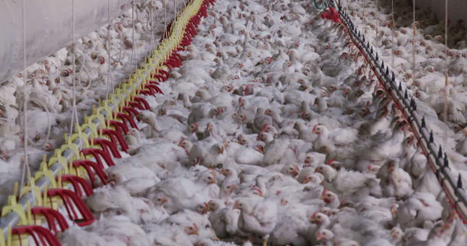 Factory farm chickens