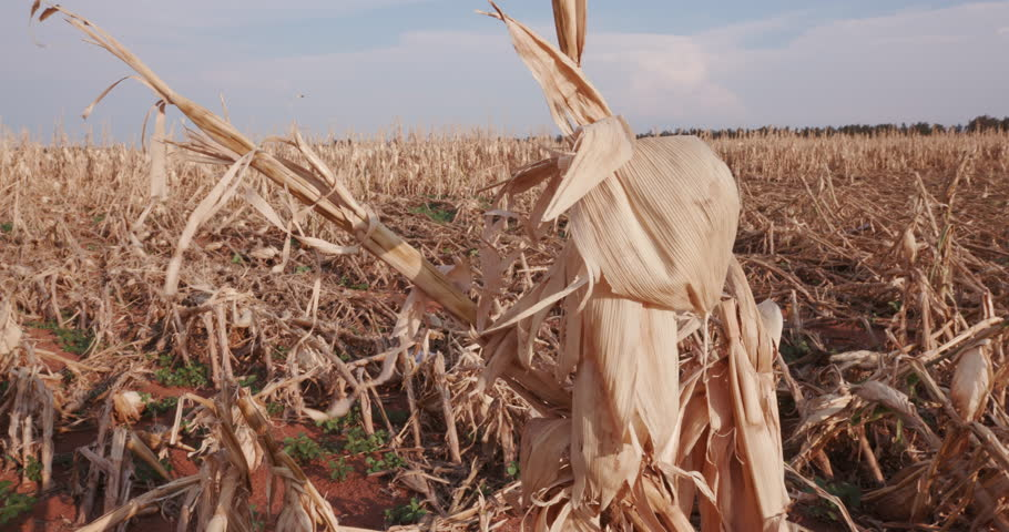 4K Panoramic view of a corn field devastated by drought and hail   | Shutterstock HD Video #14903215