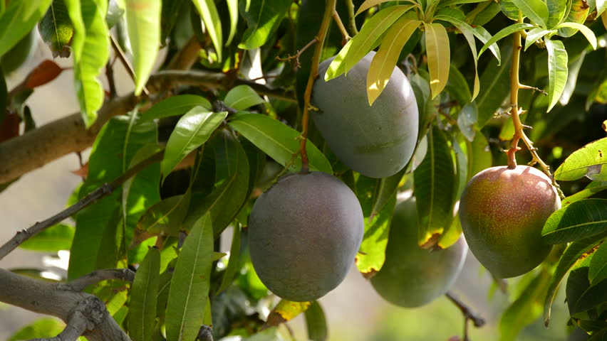 green apple fruit tree. mango tropical fruit hanging at branch of tree in a plantation agricole - hd stock footage green apple