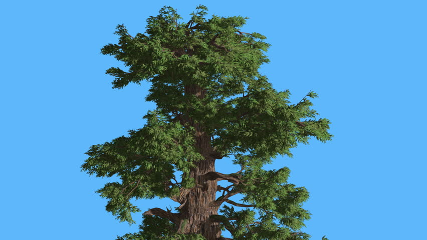 a description of a slender evergreen tree with a smooth grey trunk Description monoecious evergreen tree to 20 m tall and 40 cm dbh, with a straight round trunk and long, slender  on old trees black-grey, rough and scaly.
