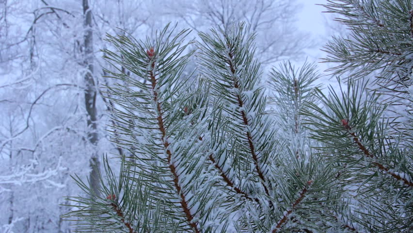 Snow on the pine branch | Shutterstock HD Video #14920807