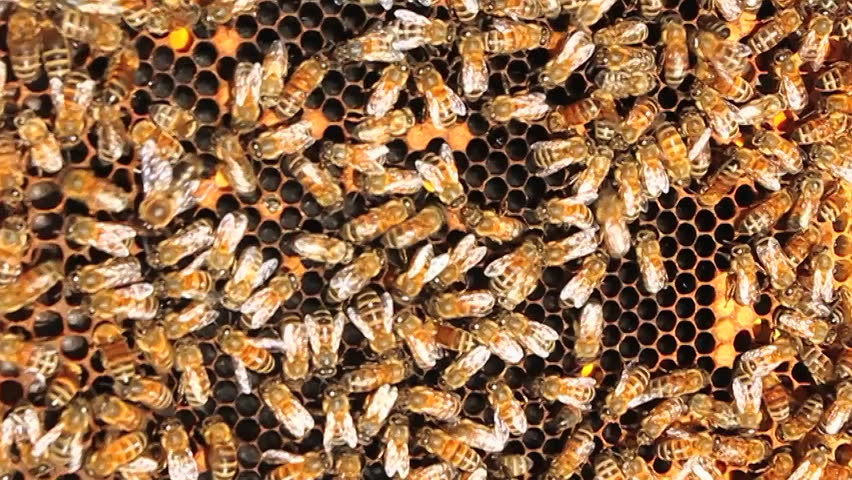 Honey Bees Crawl All Over And Work On Their Comb
