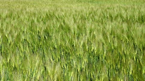 Green Barley Moving in the Stock Footage Video (100% Royalty