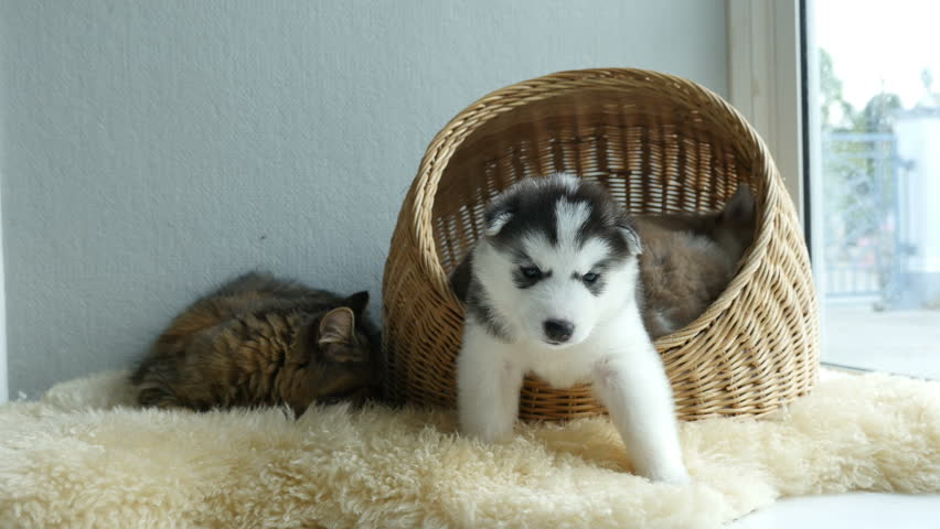 Cute Siberian Husky Sleeping Stock Footage Video 100 Royalty Free