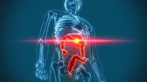 colon stomach organs