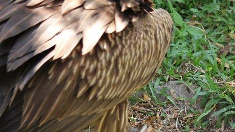Vulture Bird Building Nest
