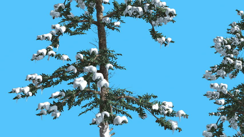 White fir two trees firs covered with snow tree on chroma key related videos sciox Gallery