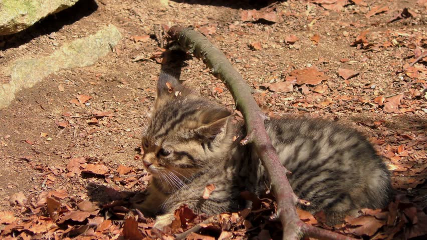 K footage of a Wildcat (Felis silvestris) kitten in the Bayerischer Wald National Park in Bavaria, Germany. The wildcat is a small cat found throughout most of Africa, Europe and Asia