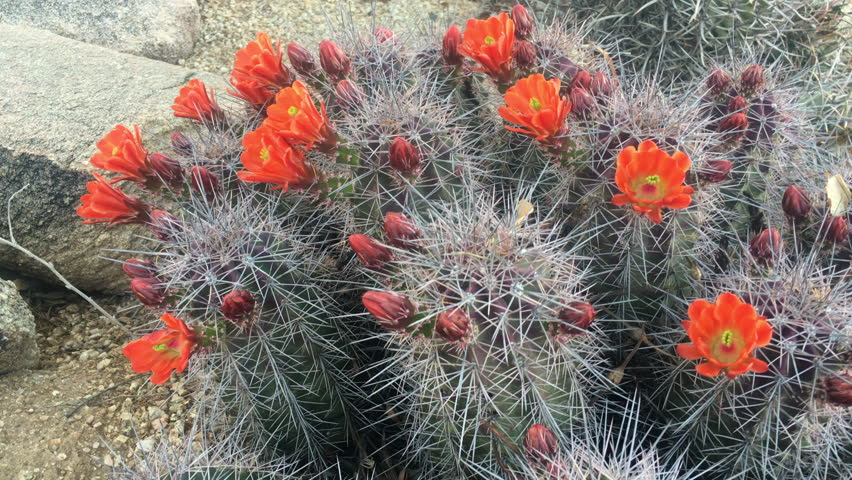 4k00 244k Spring Desert Blooming Wild Cactus Flower Arizona Usa