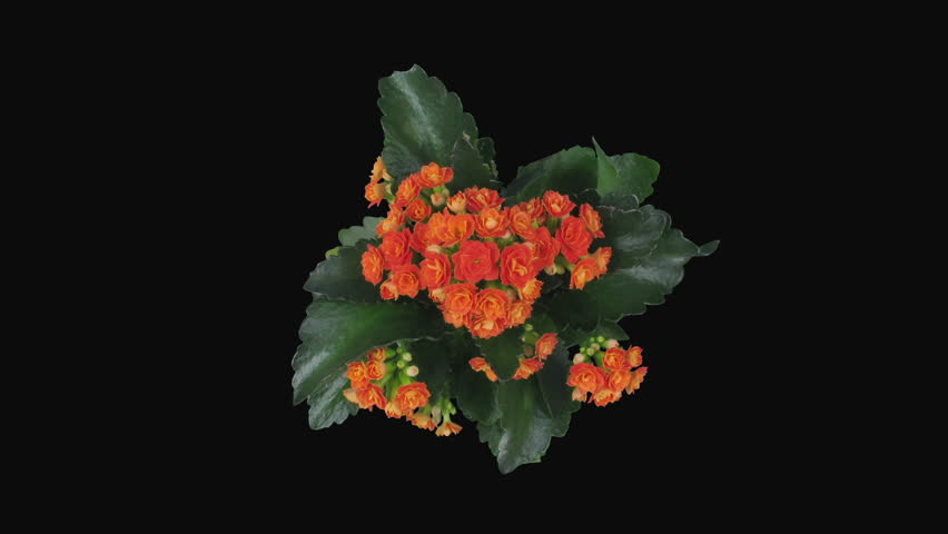 Time-lapse of opening orange kalanchoe flower 1x5 in RGB + ALPHA matte format isolated on black background, top view