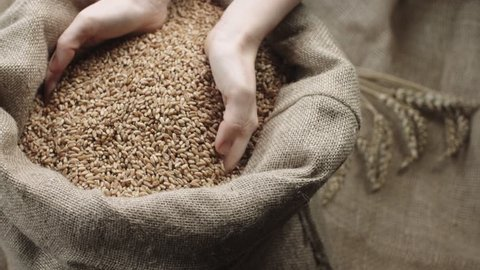 human hand touching selected grain Golden wheat in jute sack, quality new crop, slow motion,dolly shot