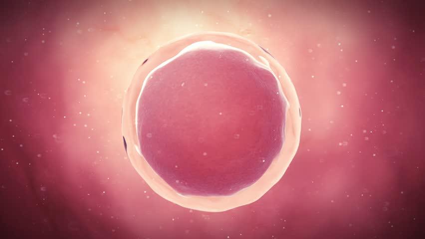 medical 3d animation of a fertilized egg